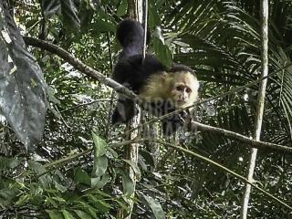 capuchin-monkey-in-tree