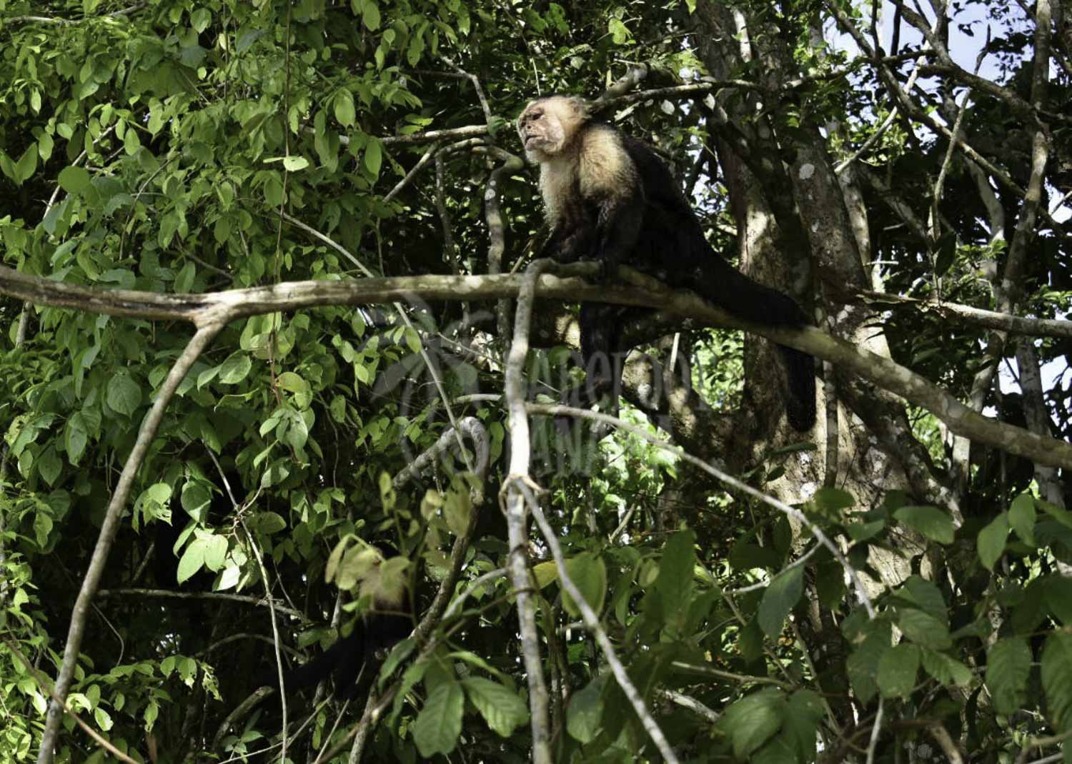 capuchin-monkey-in-tree-by-panama-canal