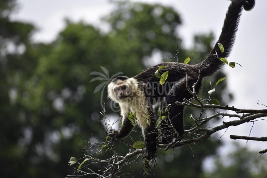 capuchin-monkey-on-barefoot-panama-tour