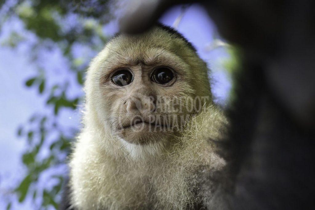 capuchin-monkey-panama