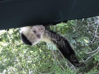 capuchin-monkey-visits-tour-boat