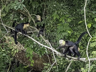 capuchin-monkeys-seen-from-tour-boat