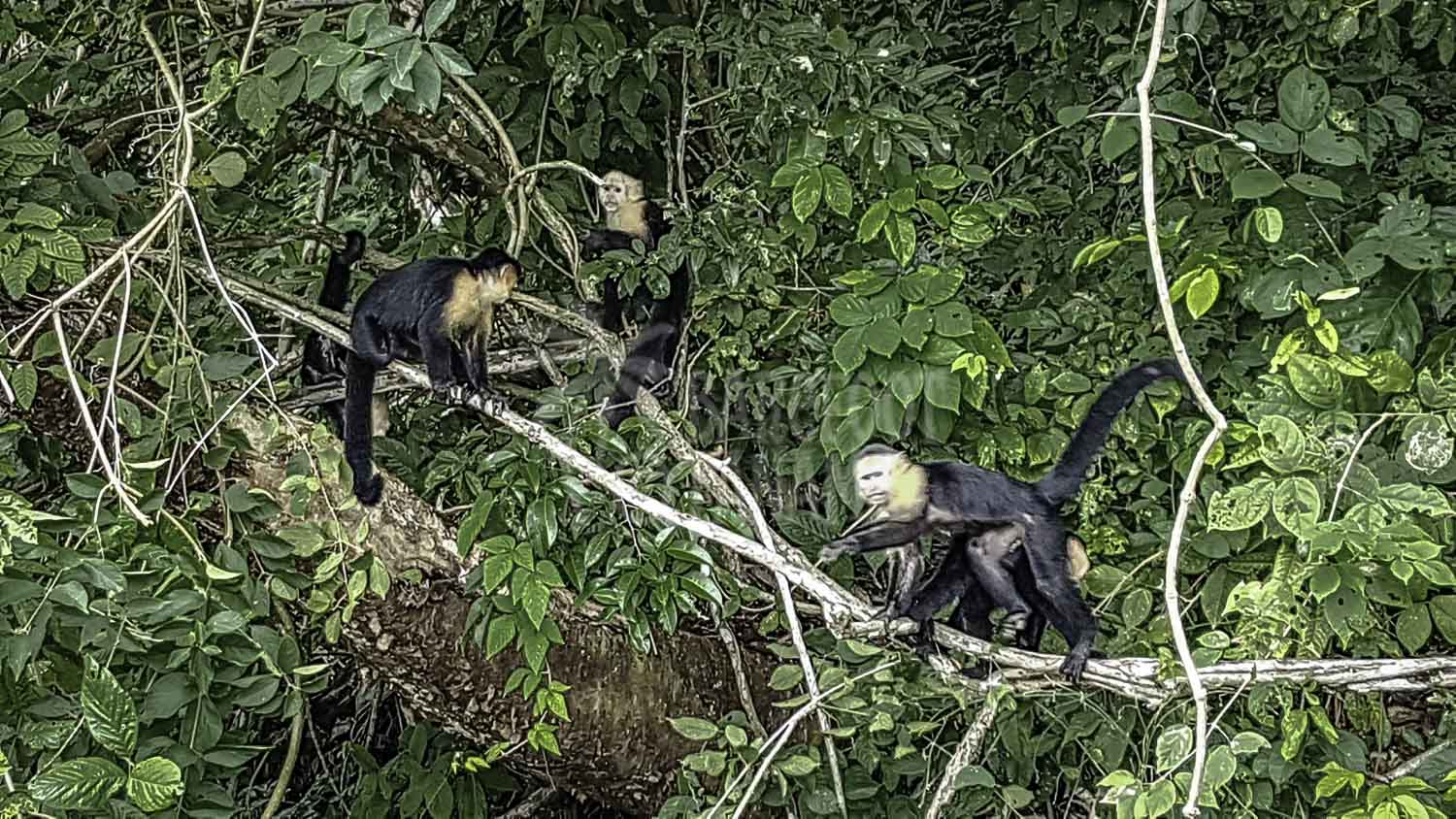 capuchin-monkeys-seen-from-tour-boat
