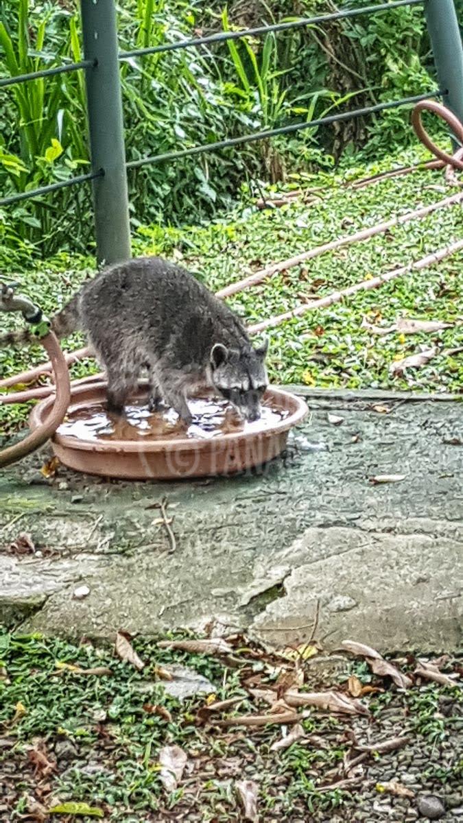 racoon-in-garden