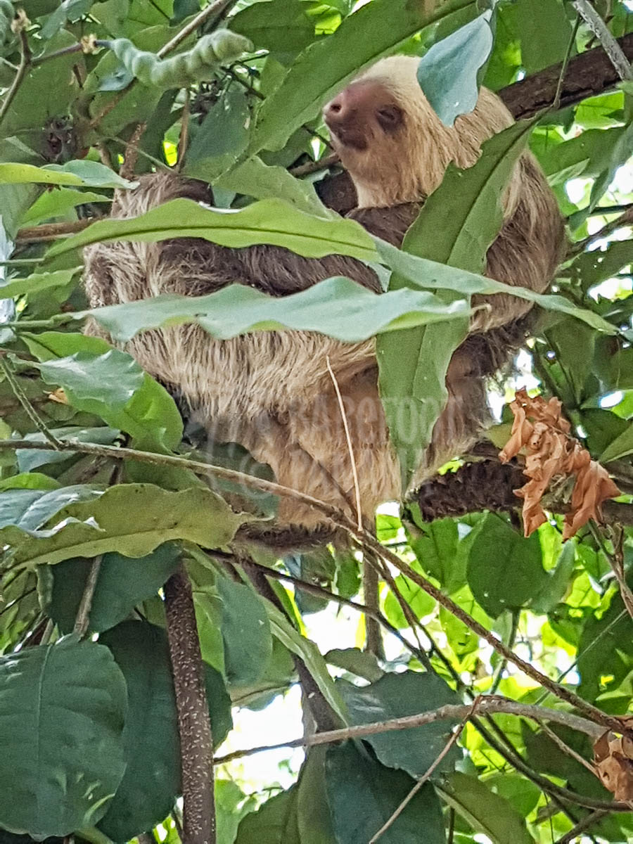 sloth-in-tree