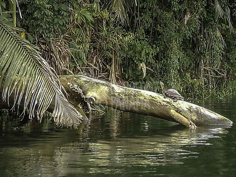 tortoise-panama-canal