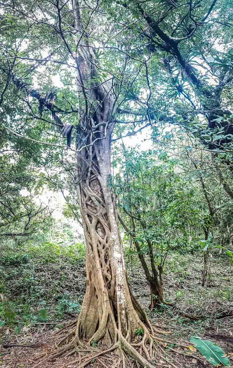 trees-in-cocle