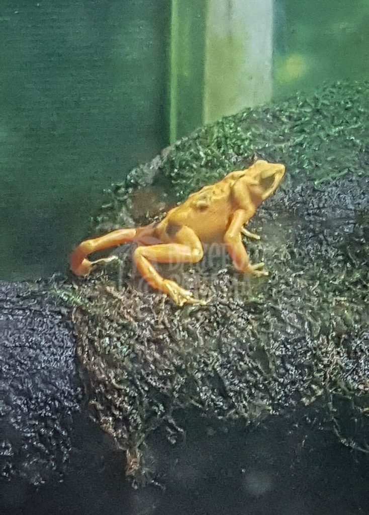 yellow-frog
